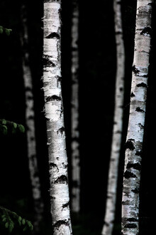 Mareike Böhmer, Birch Trees 5 (Sweden, Europe)