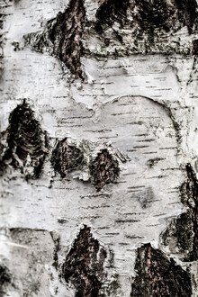 Birch Tree 2 - Fineart photography by Mareike Böhmer