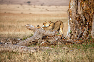 Angelika Stern, Erwachende Löwin (Kenia, Afrika)