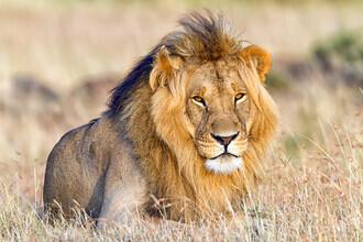 Angelika Stern, Majestätischer Löwe (Kenia, Afrika)