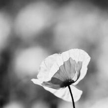 Thomas Wegner, Mohnblume in schwarz weiß (Deutschland, Europa)