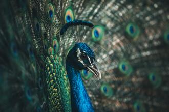 Leander Nardin, Proud peacock (Australien, Australien und Ozeanien)