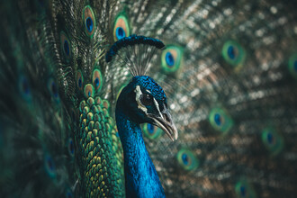 Leander Nardin, Proud peacock (Australia, Oceania)