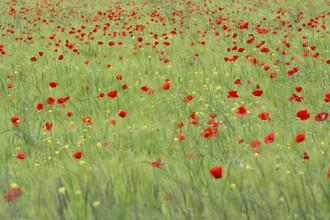 Thomas Staubli, Field of poppies (Switzerland, Europe)