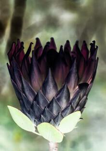 Shot By Clint, King Protea (Südafrika, Afrika)