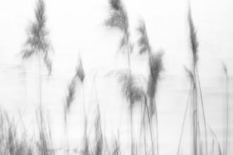 Jens Rosbach, Schilf im Wind (Deutschland, Europa)