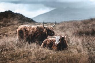Felix Baab, Rinder in den Highlands Schottlands (Großbritannien, Europa)