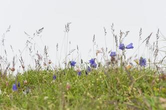 Thomas Staubli, Alpen-Glockenblumen (Schweiz, Europa)