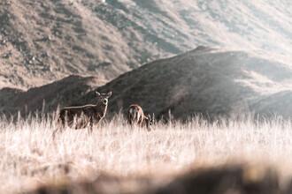 Felix Baab, Wilde Rehe in den Highlands Schottlands (Großbritannien, Europa)
