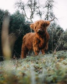 Kristof Göttling, Highland Cattle on field (Deutschland, Europa)