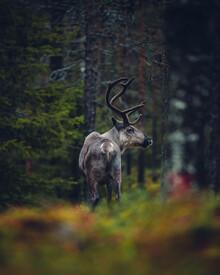 Kristof Göttling, Rentier im Herbstwald (Finnland, Europa)