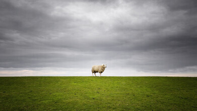 Carsten Meyerdierks, Lonely Sheep (Germany, Europe)