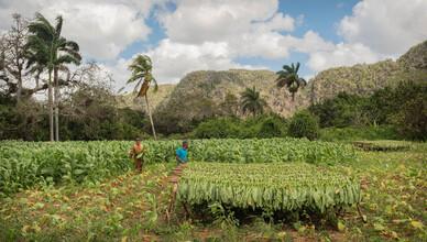Phyllis Bauer, Tabakernte (Kuba, Lateinamerika und die Karibik)