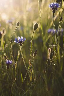 Nadja Jacke, Cornflower and poppy at sunset (Germany, Europe)