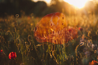 Nadja Jacke, Poppies on the edge of the field at sunset (Germany, Europe)