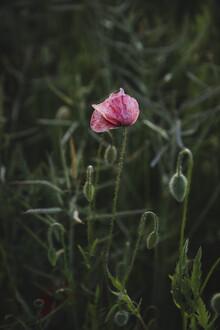 Nadja Jacke, pink poppies bloom on the field edge (Germany, Europe)