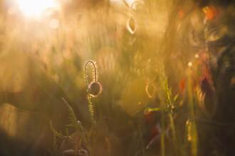 Nadja Jacke, Mohnblumen zum Sonnenuntergang (Deutschland, Europa)