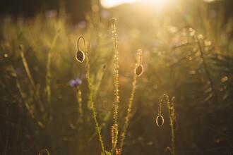 Nadja Jacke, Kornblume und Mohnblume zum Sonnenuntergang (Deutschland, Europa)