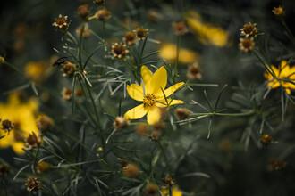 Nadja Jacke, blooming golden marie (Germany, Europe)