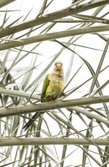 Victoria Frost, Parrot (Spanien, Europa)