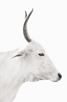 Victoria Frost, White Cow (India, Asia)