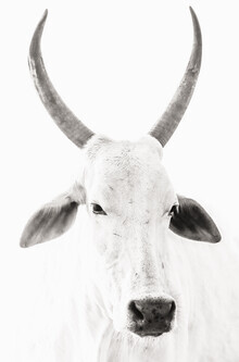 Victoria Frost, White Cow (Indien, Asien)