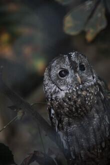 Nadja Jacke, Brown owl (Germany, Europe)