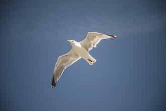 Nadja Jacke, Seagull in flight (Germany, Europe)