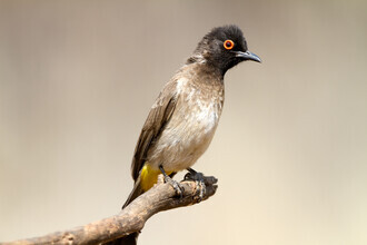 Angelika Stern, African Red-Eyed Bulbul (Namibia, Africa)