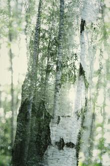 Nadja Jacke, birch trees (Germany, Europe)