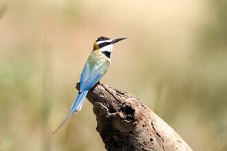 Angelika Stern, White throated Bee-eater (Kenya, Africa)