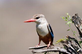 Angelika Stern, Grey-Headed Kingfisher (South Africa, Africa)