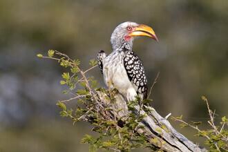 Angelika Stern, Yellow billed hornbill (South Africa, Africa)