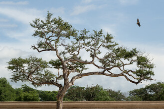 AJ Schokora, Dreaming Tree (Myanmar, Asia)