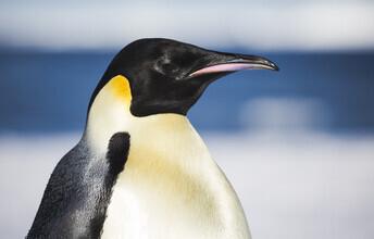 Jens Rosbach, Königspinguin (Antarktis, Europa)