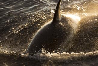 Jens Rosbach, Orca, Killerwal (Antarktis, Europa)