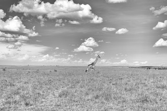 Angelika Stern, Giraffe in der Masai Mara, Kenia (Kenia, Afrika)