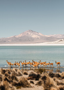 Felix Dorn, Vicuña herd (Chile, Latin America and Caribbean)