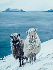 Lennart Pagel, Sheep Buddies (Faroe Islands, Europe)