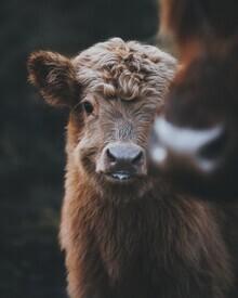 Patrick Monatsberger, Baby Highland Coo (Germany, Europe)