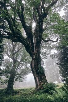 Alex Wesche, Charaktervolle Bäume im Nebel (Schweiz, Europa)