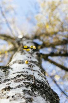 Nadja Jacke, Birch branch on the tree trunk (Germany, Europe)