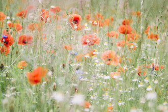 Nadja Jacke, Meadow with poppies and chamomiles (Germany, Europe)