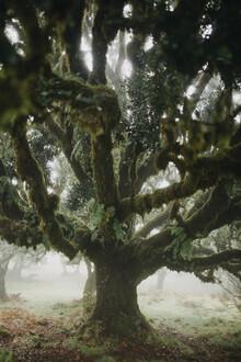 Steffen Schulte-Lippern, Madeira Trees 1 (Portugal, Europe)