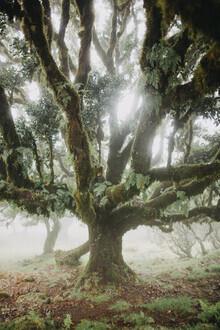 Steffen Schulte-Lippern, Madeira Trees 3 (Portugal, Europe)