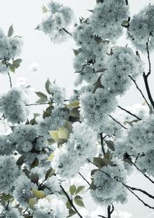 Studio Na.hili, White Spring Blossoms (Deutschland, Europa)