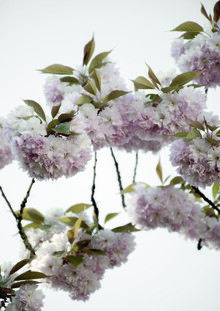 Studio Na.hili, Clouds of Cherry Flowers (Germany, Europe)