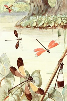 Vintage Nature Graphics, Dragonflies by the pond (Germany, Europe)
