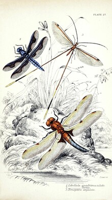 Vintage Nature Graphics, Three Dragonflies (Germany, Europe)