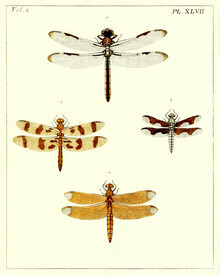 Vintage Nature Graphics, Dragonfly 2 (Germany, Europe)